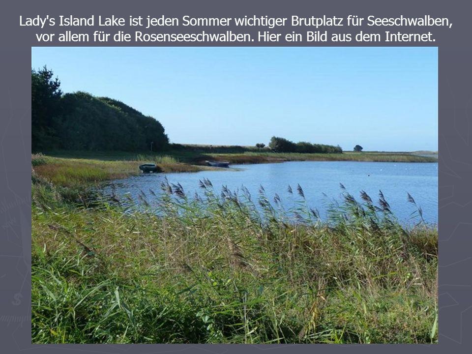 Lady s Island Lake ist jeden Sommer wichtiger Brutplatz für Seeschwalben, vor allem für die Rosenseeschwalben.