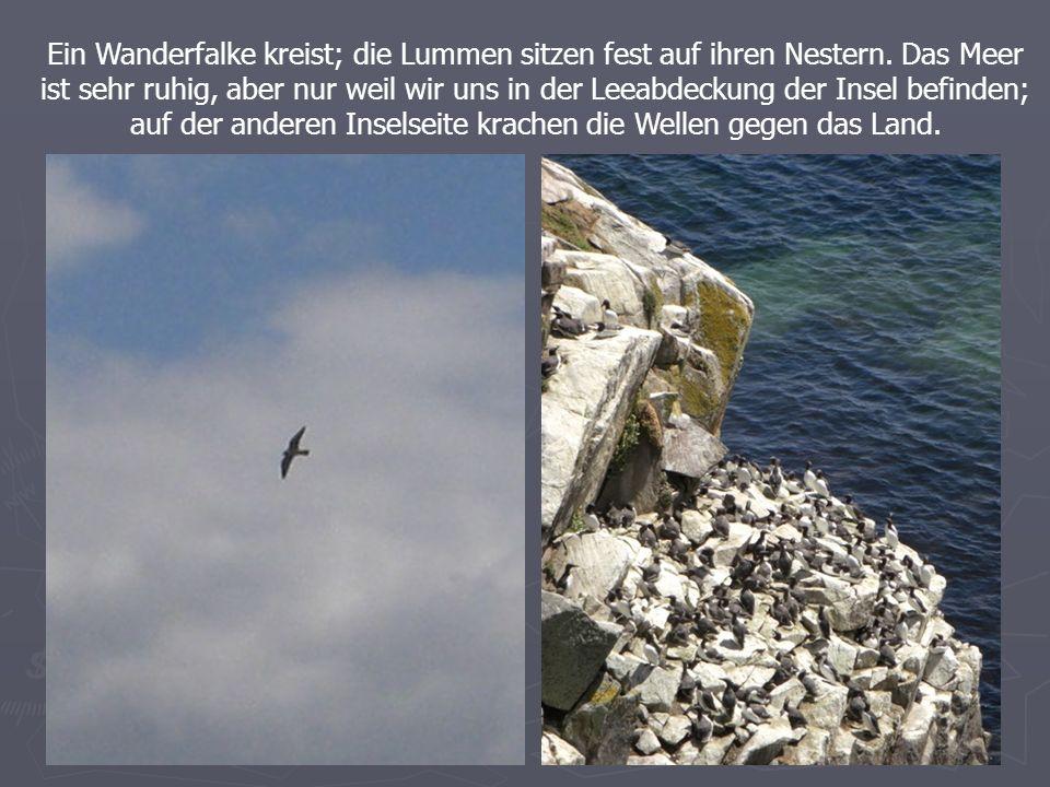 Ein Wanderfalke kreist; die Lummen sitzen fest auf ihren Nestern.