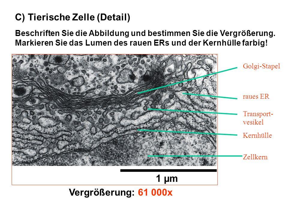 C) Tierische Zelle (Detail) Beschriften Sie die Abbildung und bestimmen Sie die Vergrößerung. Markieren Sie das Lumen des rauen ERs und der Kernhülle