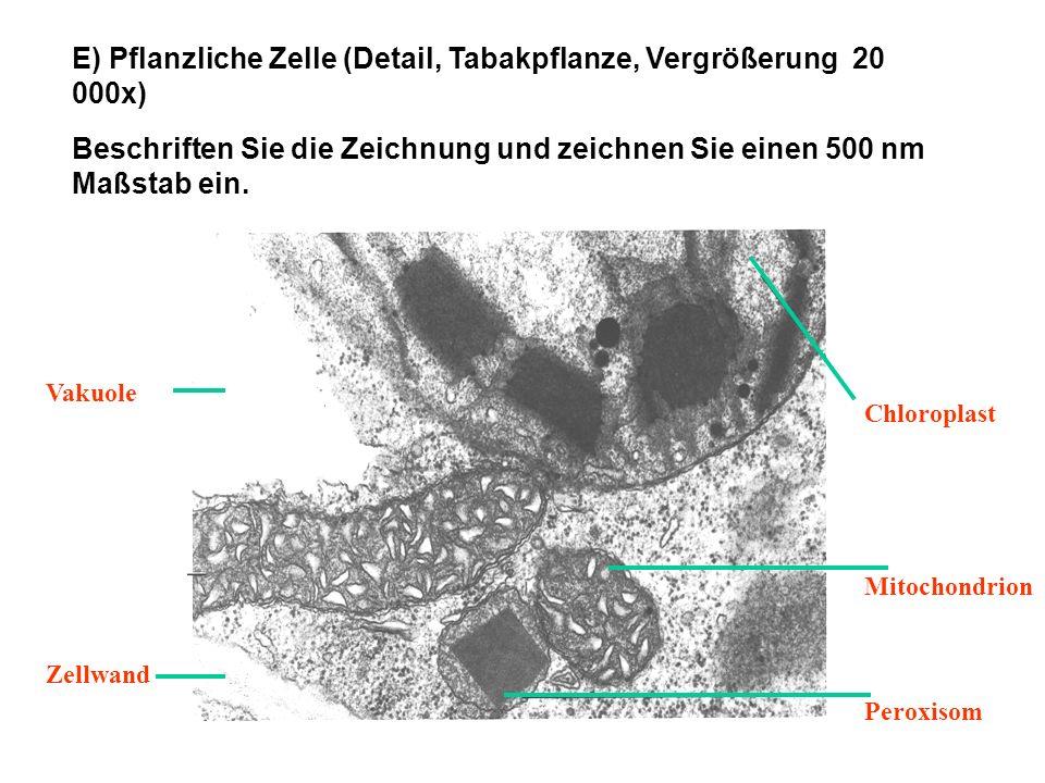 E) Pflanzliche Zelle (Detail, Tabakpflanze, Vergrößerung 20 000x) Beschriften Sie die Zeichnung und zeichnen Sie einen 500 nm Maßstab ein. Chloroplast