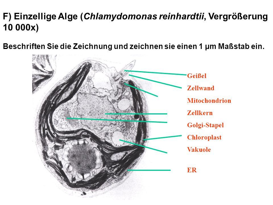 F) Einzellige Alge (Chlamydomonas reinhardtii, Vergrößerung 10 000x) Beschriften Sie die Zeichnung und zeichnen sie einen 1 µm Maßstab ein. Geißel Zel