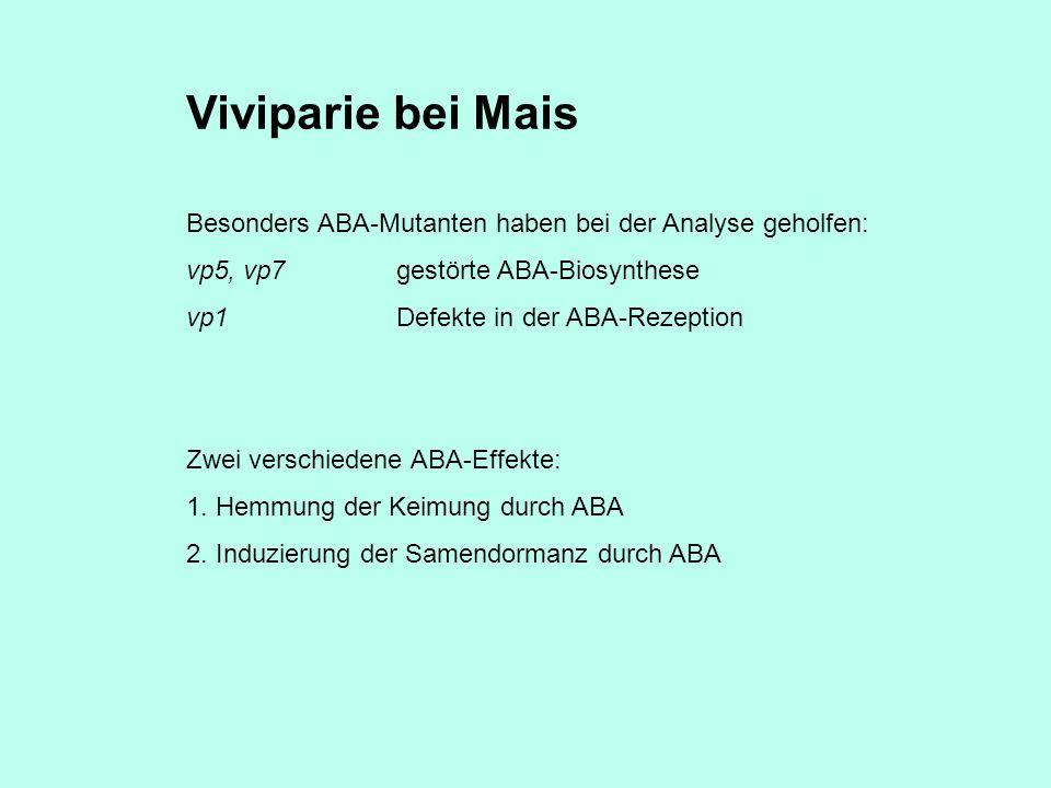 Viviparie bei Mais Besonders ABA-Mutanten haben bei der Analyse geholfen: vp5, vp7gestörte ABA-Biosynthese vp1Defekte in der ABA-Rezeption Zwei verschiedene ABA-Effekte: 1.