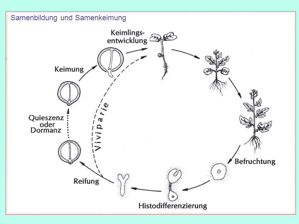 Samenkeimung = Übergang von der Dormanz (Samenruhe) in den aktiven Zustand 1.