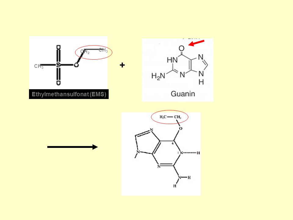 Ethylmethansulfonat (EMS) + CH 2 CH 3