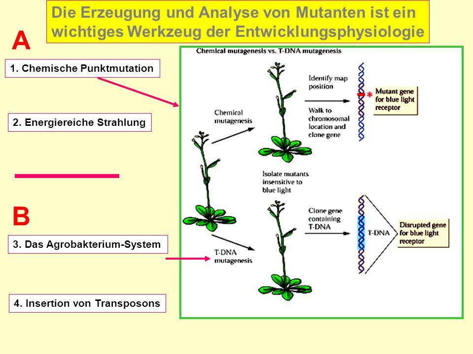 1. Chemische Punktmutation 4. Insertion von Transposons 3. Das Agrobakterium-System 2. Energiereiche Strahlung A B Die Erzeugung und Analyse von Mutan