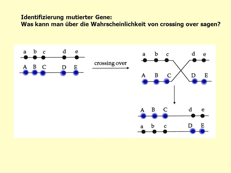 Identifizierung mutierter Gene: Was kann man über die Wahrscheinlichkeit von crossing over sagen?