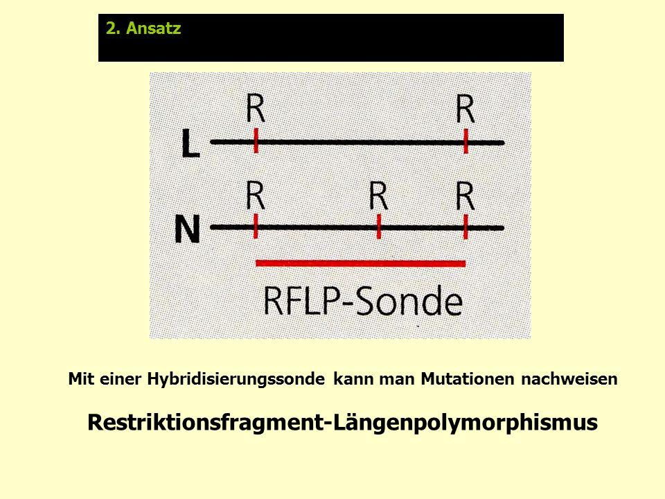 Mit einer Hybridisierungssonde kann man Mutationen nachweisen Restriktionsfragment-Längenpolymorphismus 2. Ansatz: Molekulare Marker Respriktionsfragm