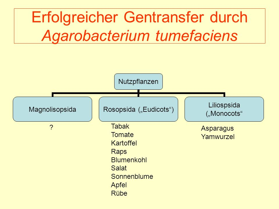 Erfolgreicher Gentransfer durch Agarobacterium tumefaciens Nutzpflanzen Magnolisopsida Rosopsida (Eudicots) Liliospsida (Monocots ? Tabak Tomate Karto