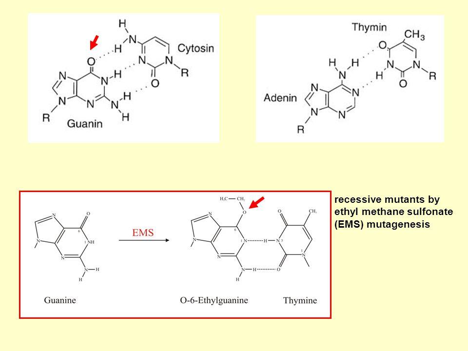 recessive mutants by ethyl methane sulfonate (EMS) mutagenesis
