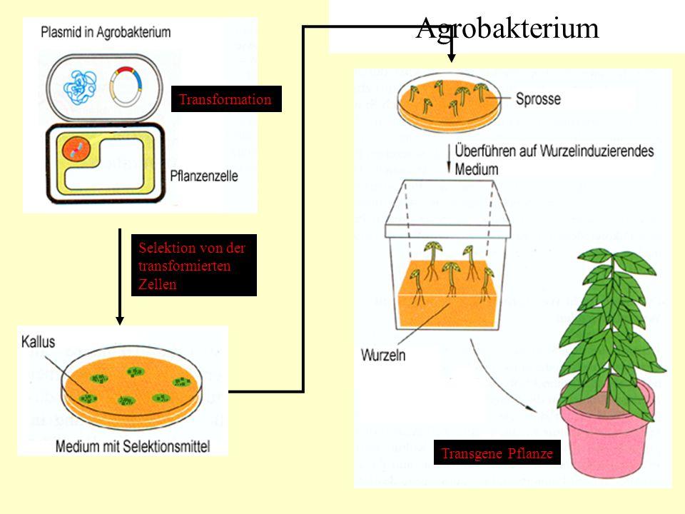 Agrobakterium Selektion von der transformierten Zellen Transformation Transgene Pflanze