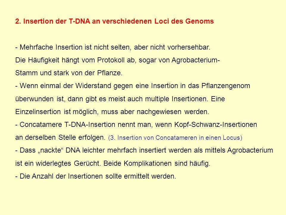 2. Insertion der T-DNA an verschiedenen Loci des Genoms - Mehrfache Insertion ist nicht selten, aber nicht vorhersehbar. Die Häufigkeit hängt vom Prot