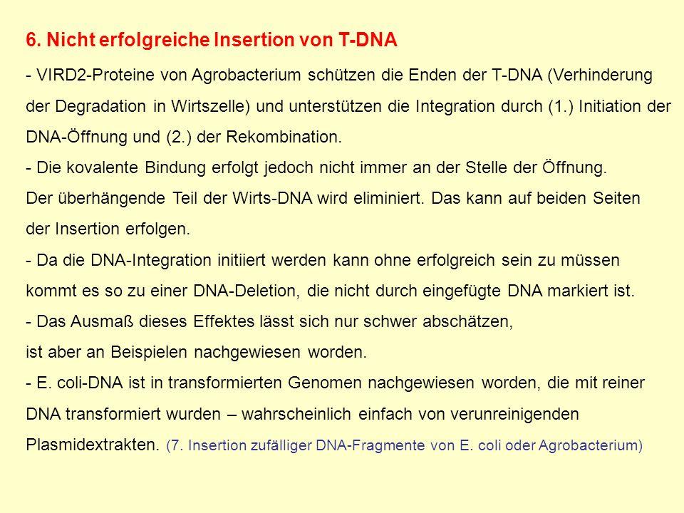 6. Nicht erfolgreiche Insertion von T-DNA - VIRD2-Proteine von Agrobacterium schützen die Enden der T-DNA (Verhinderung der Degradation in Wirtszelle)