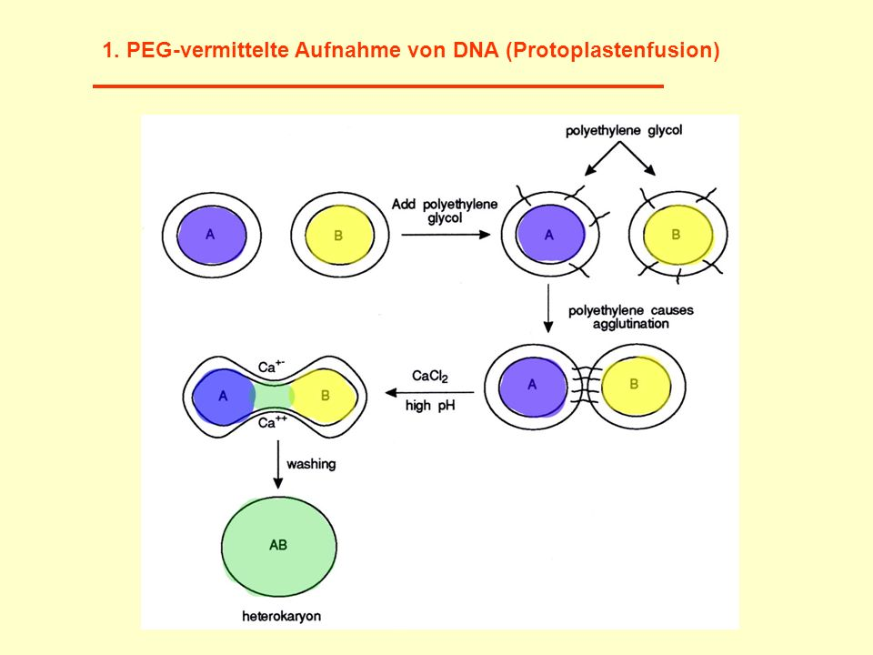 1. PEG-vermittelte Aufnahme von DNA (Protoplastenfusion)