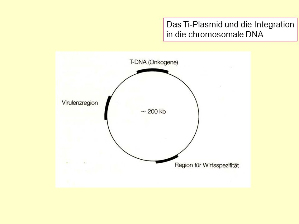 Das Ti-Plasmid und die Integration in die chromosomale DNA