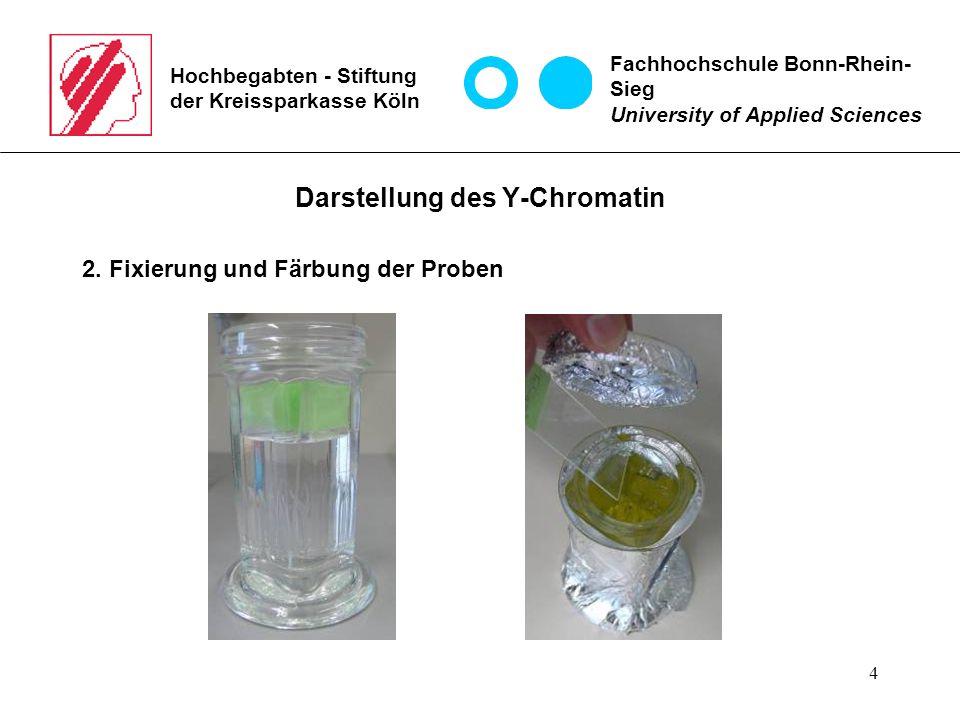 4 Hochbegabten - Stiftung der Kreissparkasse Köln Darstellung des Y-Chromatin 2.