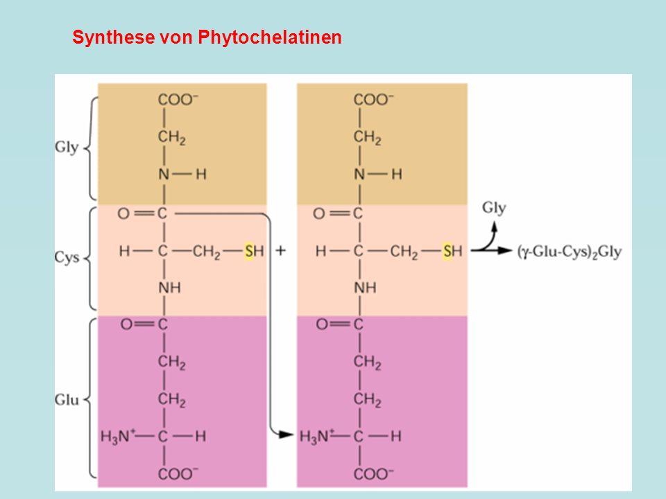 Synthese von Phytochelatinen