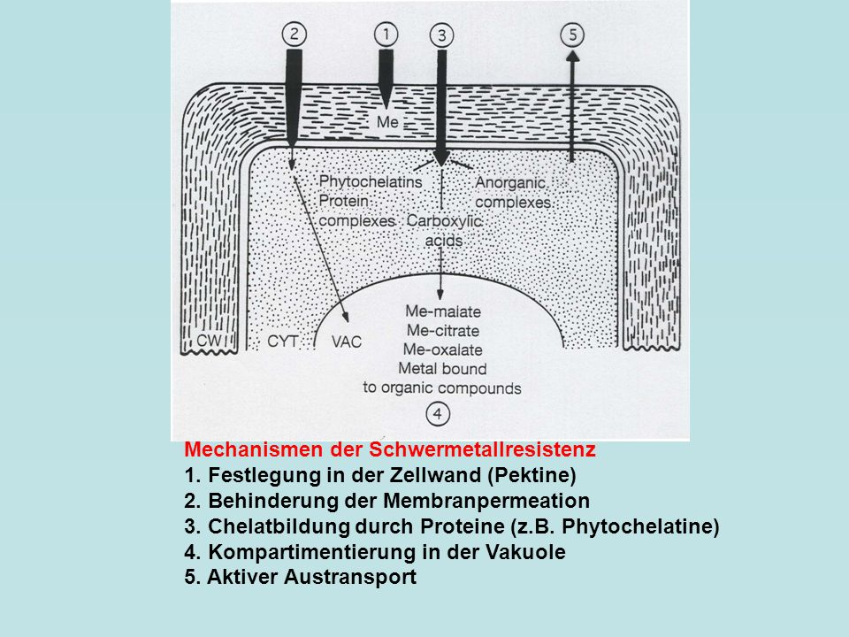 Mechanismen der Schwermetallresistenz 1. Festlegung in der Zellwand (Pektine) 2. Behinderung der Membranpermeation 3. Chelatbildung durch Proteine (z.