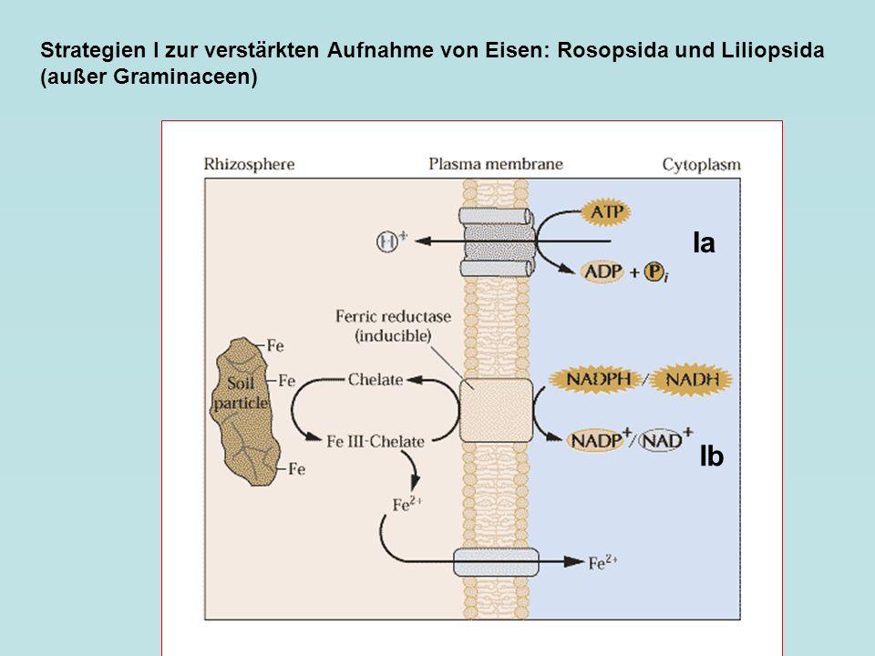 Strategien I zur verstärkten Aufnahme von Eisen: Rosopsida und Liliopsida (außer Graminaceen) Ia Ib