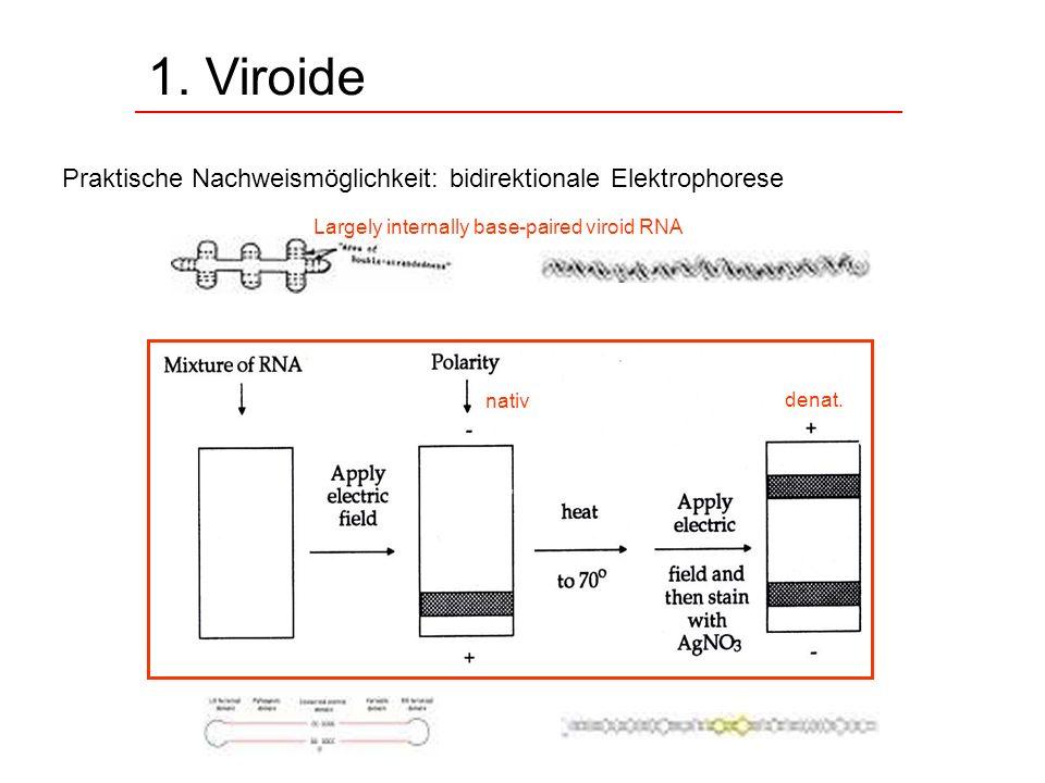1. Viroide Praktische Nachweismöglichkeit: bidirektionale Elektrophorese nativ denat. Largely internally base-paired viroid RNA