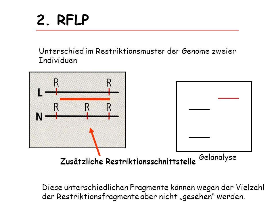 2. RFLP Unterschied im Restriktionsmuster der Genome zweier Individuen Gelanalyse Diese unterschiedlichen Fragmente können wegen der Vielzahl der Rest