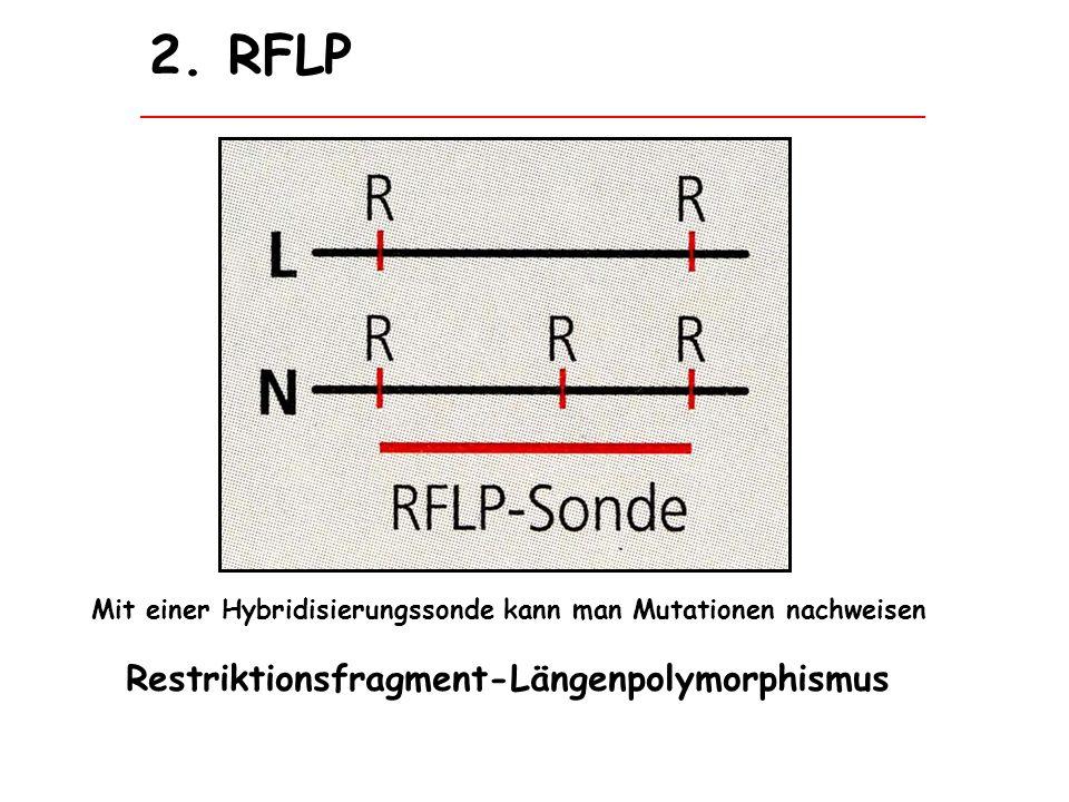Mit einer Hybridisierungssonde kann man Mutationen nachweisen Restriktionsfragment-Längenpolymorphismus 2. RFLP