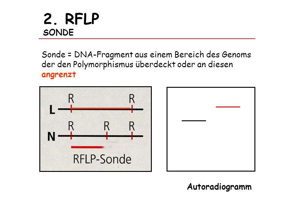 2. RFLP SONDE Sonde = DNA-Fragment aus einem Bereich des Genoms der den Polymorphismus überdeckt oder an diesen angrenzt Autoradiogramm