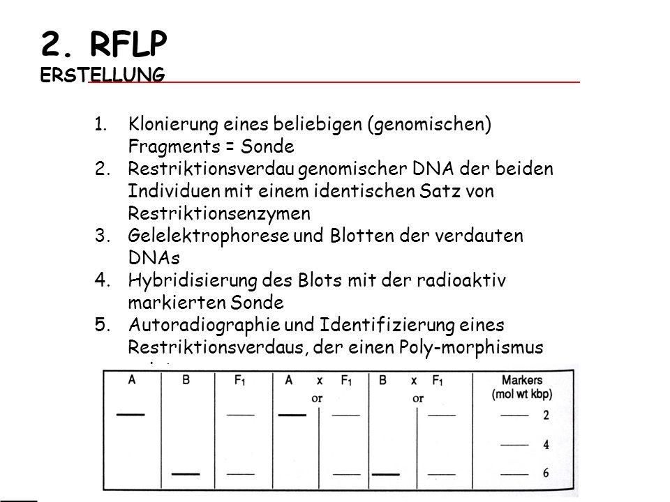 2. RFLP ERSTELLUNG 1.Klonierung eines beliebigen (genomischen) Fragments = Sonde 2.Restriktionsverdau genomischer DNA der beiden Individuen mit einem