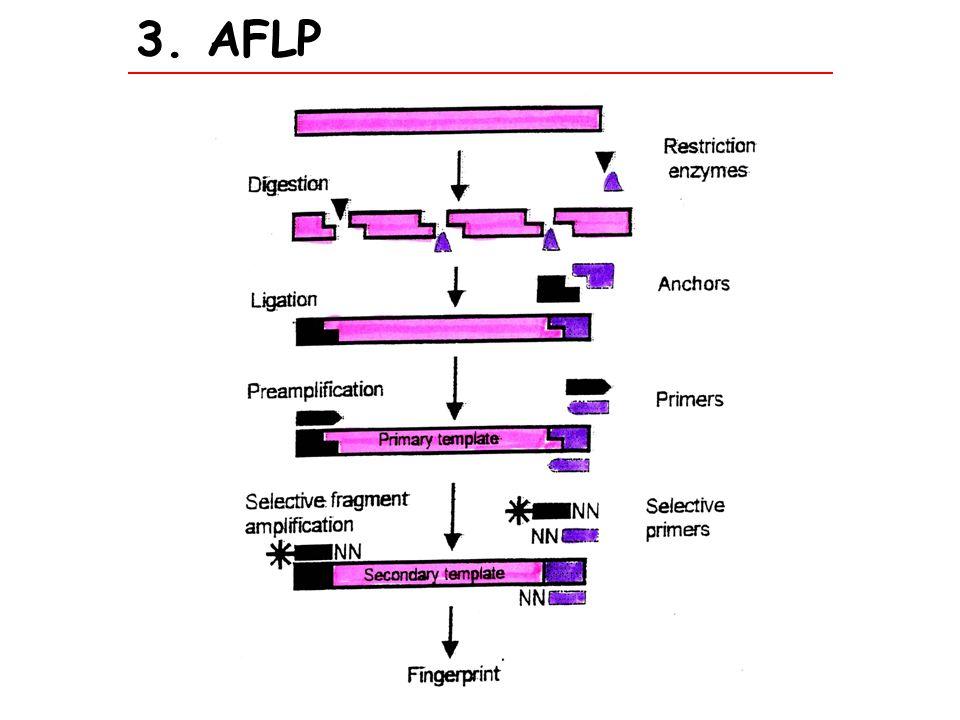 7.CAPS Cleaved amplified polymorphic sequences ACAC neue Schnittstelle primer Genom 1 Genom 2 1.