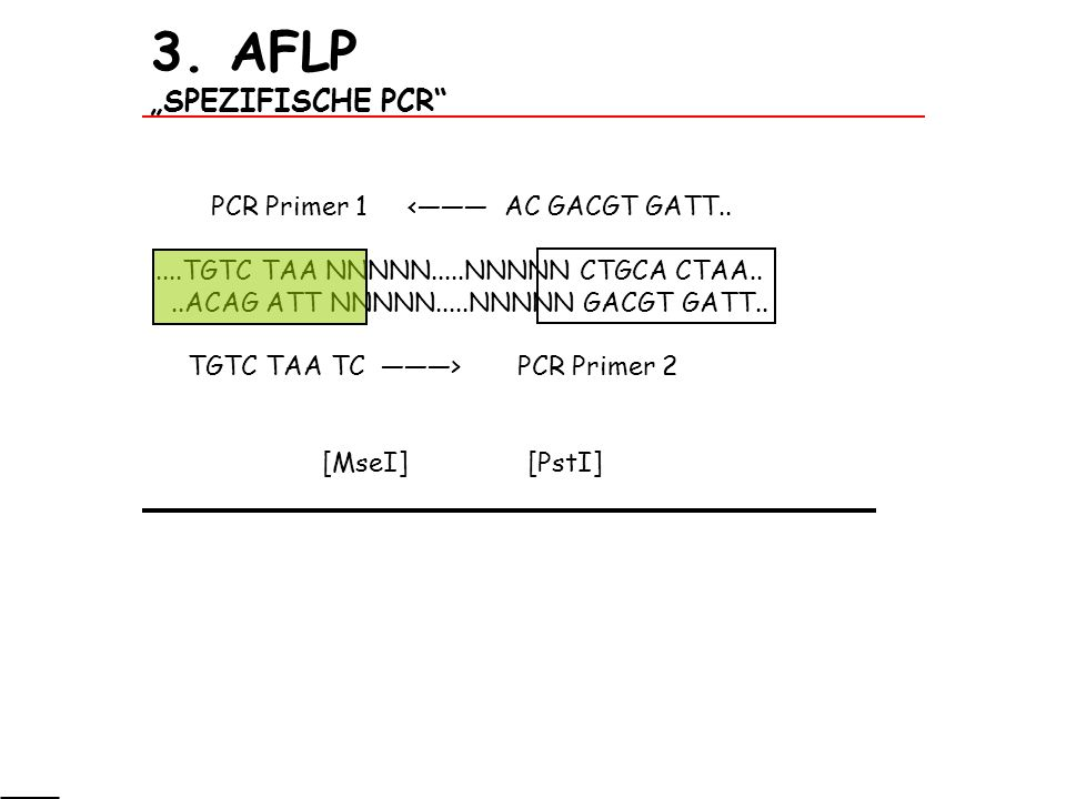3. AFLP SPEZIFISCHE PCR PCR Primer 1 < AC GACGT GATT......TGTC TAA NNNNN.....NNNNN CTGCA CTAA....ACAG ATT NNNNN.....NNNNN GACGT GATT.. TGTC TAA TC > P