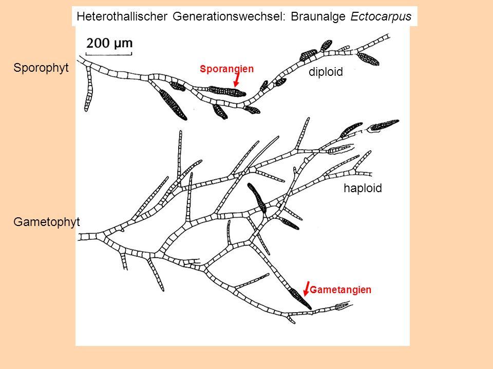 diploid haploid Sporangien Gametangien Heterothallischer Generationswechsel: Braunalge Ectocarpus Sporophyt Gametophyt