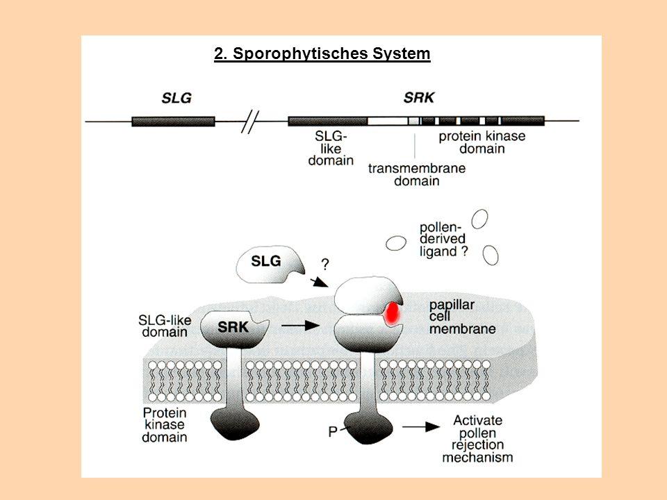2. Sporophytisches System