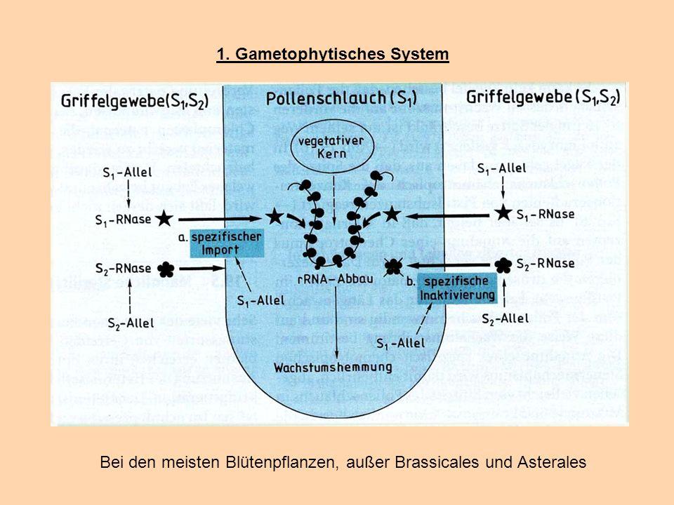 1. Gametophytisches System Bei den meisten Blütenpflanzen, außer Brassicales und Asterales