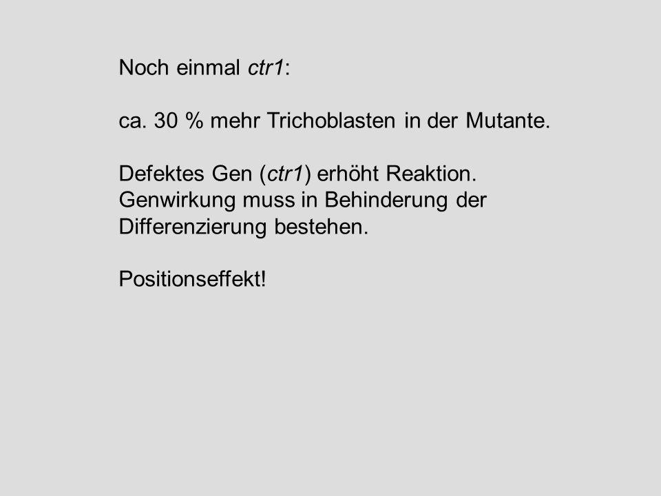 Noch einmal ctr1: ca. 30 % mehr Trichoblasten in der Mutante. Defektes Gen (ctr1) erhöht Reaktion. Genwirkung muss in Behinderung der Differenzierung