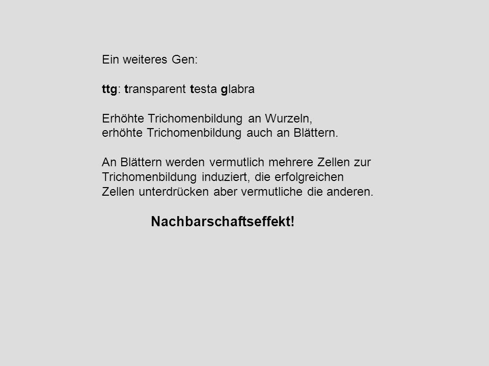 Ein weiteres Gen: ttg: transparent testa glabra Erhöhte Trichomenbildung an Wurzeln, erhöhte Trichomenbildung auch an Blättern. An Blättern werden ver