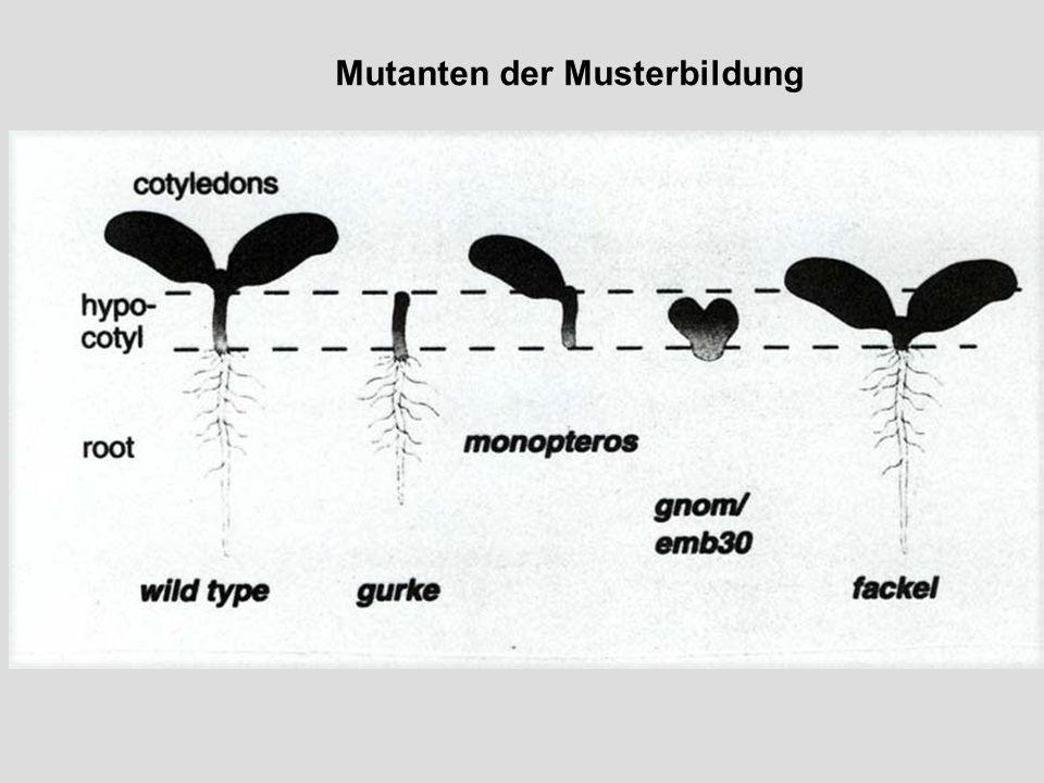 Mutanten der Musterbildung Phänotyp Früheste Abweichung Vom Wildtyp Entsprechende Wildtypform