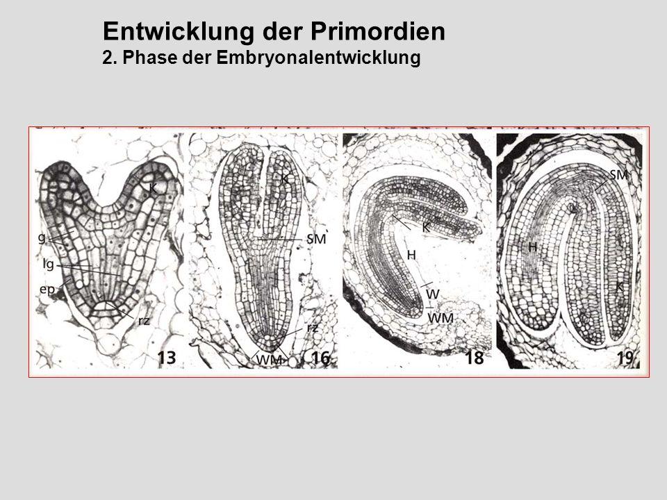 Entwicklung der Primordien 2. Phase der Embryonalentwicklung
