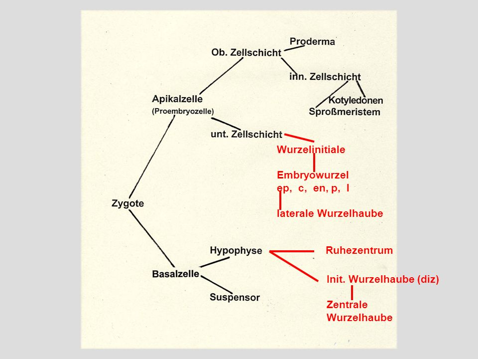 Wurzelinitiale Embryowurzel ep, c, en, p, l laterale Wurzelhaube Ruhezentrum Init. Wurzelhaube (diz) Zentrale Wurzelhaube