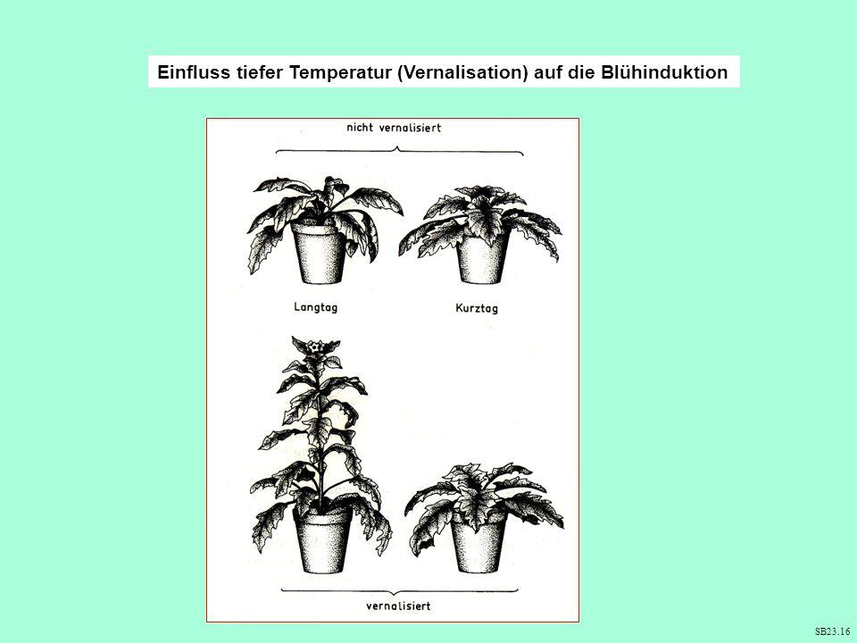 Einfluss tiefer Temperatur (Vernalisation) auf die Blühinduktion SB23.16