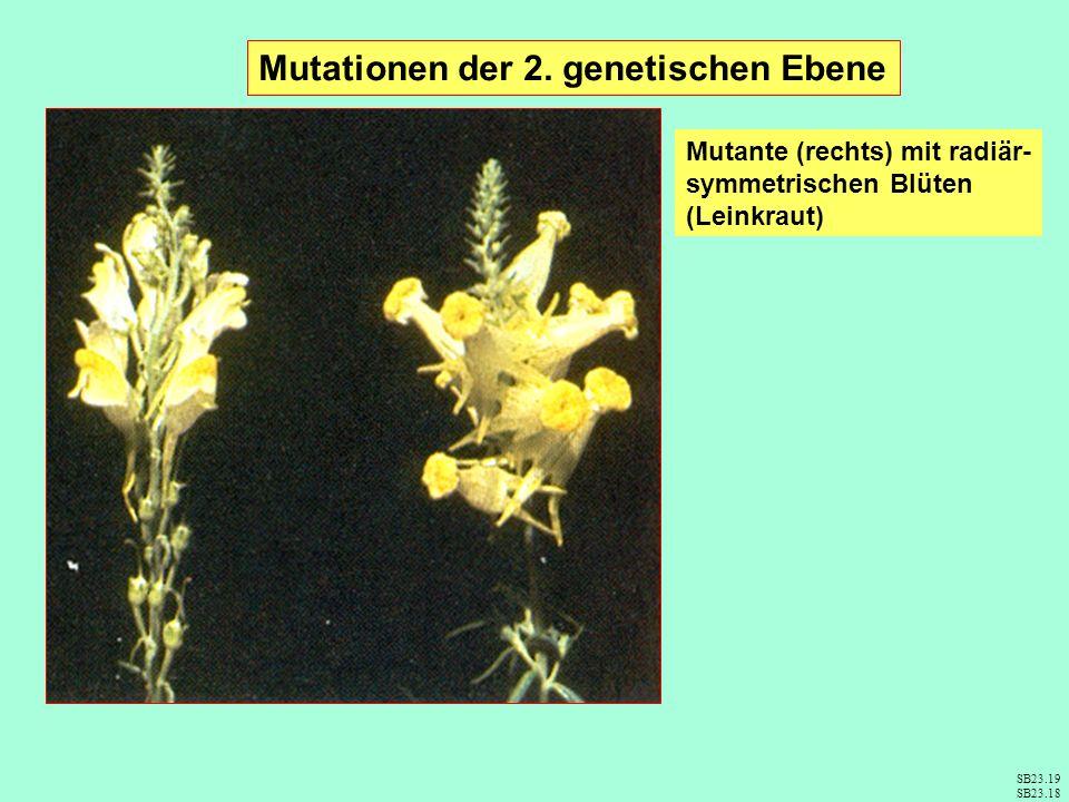 Mutationen der 2. genetischen Ebene Mutante (rechts) mit radiär- symmetrischen Blüten (Leinkraut) SB23.19 SB23.18