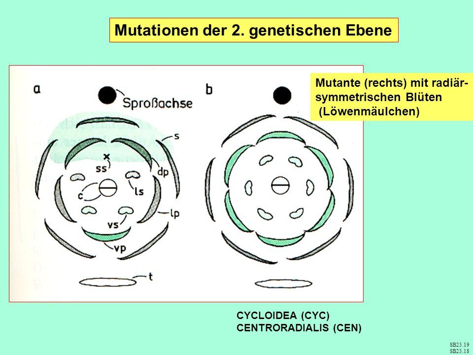 Mutationen der 2. genetischen Ebene Mutante (rechts) mit radiär- symmetrischen Blüten (Löwenmäulchen) SB23.19 SB23.18 CYCLOIDEA (CYC) CENTRORADIALIS (