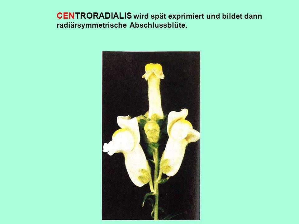 CENTRORADIALIS wird spät exprimiert und bildet dann radiärsymmetrische Abschlussblüte.
