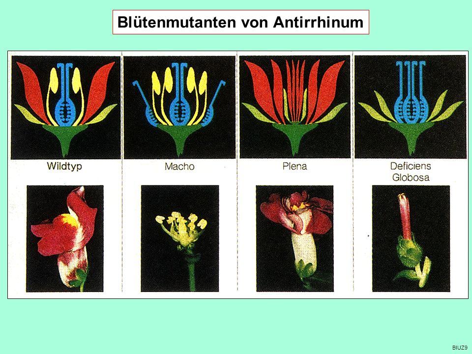 BIUZ9 Blütenmutanten von Antirrhinum
