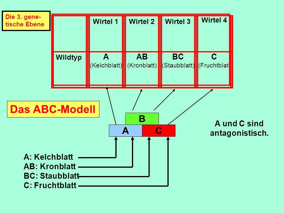 Wirtel 1Wirtel 2Wirtel 3 Wirtel 4 Wildtyp A (Kelchblatt) AB (Kronblatt) BC (Staubblatt) C (Fruchtblatt A und C sind antagonistisch. A B C A: Kelchblat