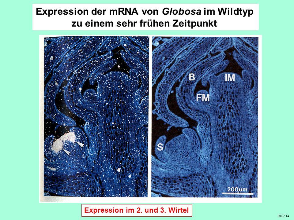 BIUZ14 Expression der mRNA von Globosa im Wildtyp zu einem sehr frühen Zeitpunkt Expression im 2. und 3. Wirtel