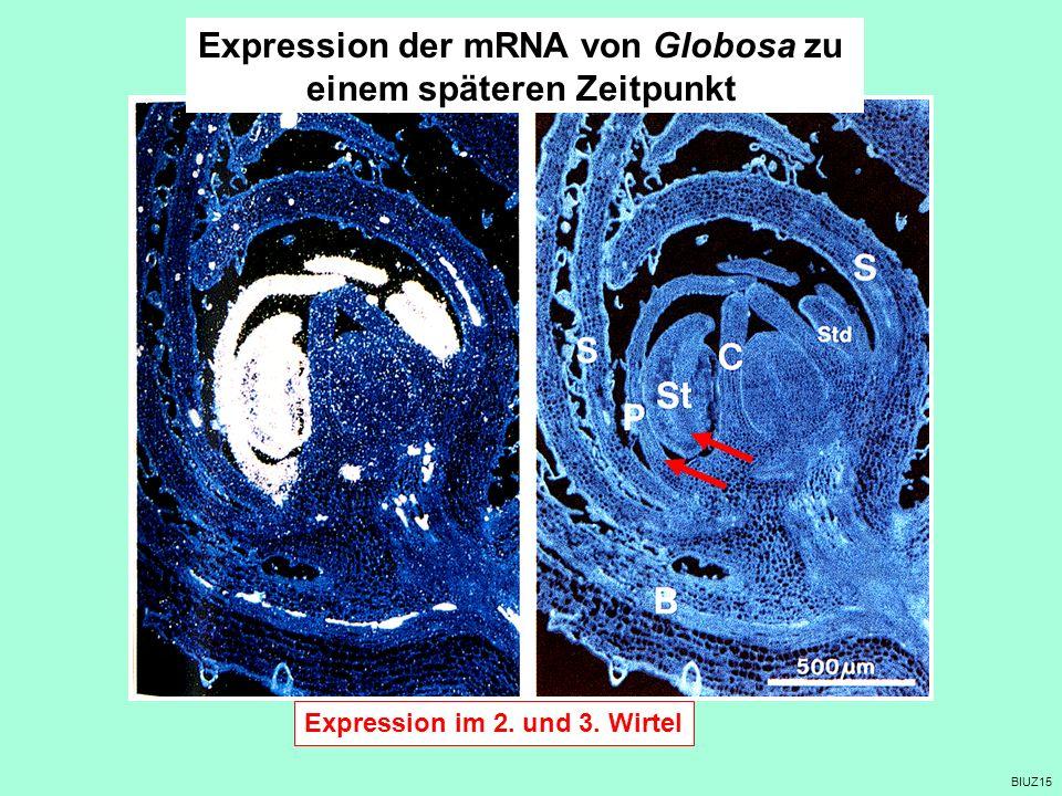 BIUZ15 Expression der mRNA von Globosa zu einem späteren Zeitpunkt S Expression im 2. und 3. Wirtel