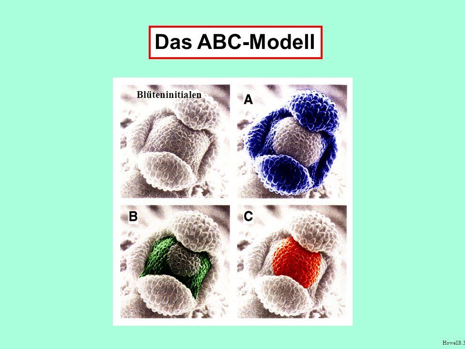 Blüteninitialen Das ABC-Modell Howell8.3