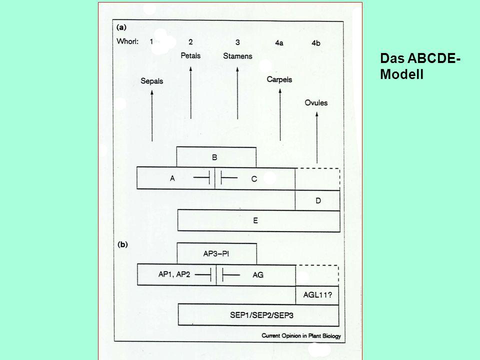 Das ABCDE- Modell