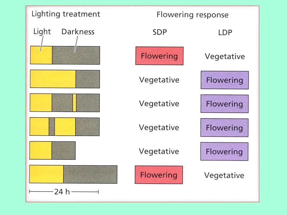 Einfluß der Lichtperiode