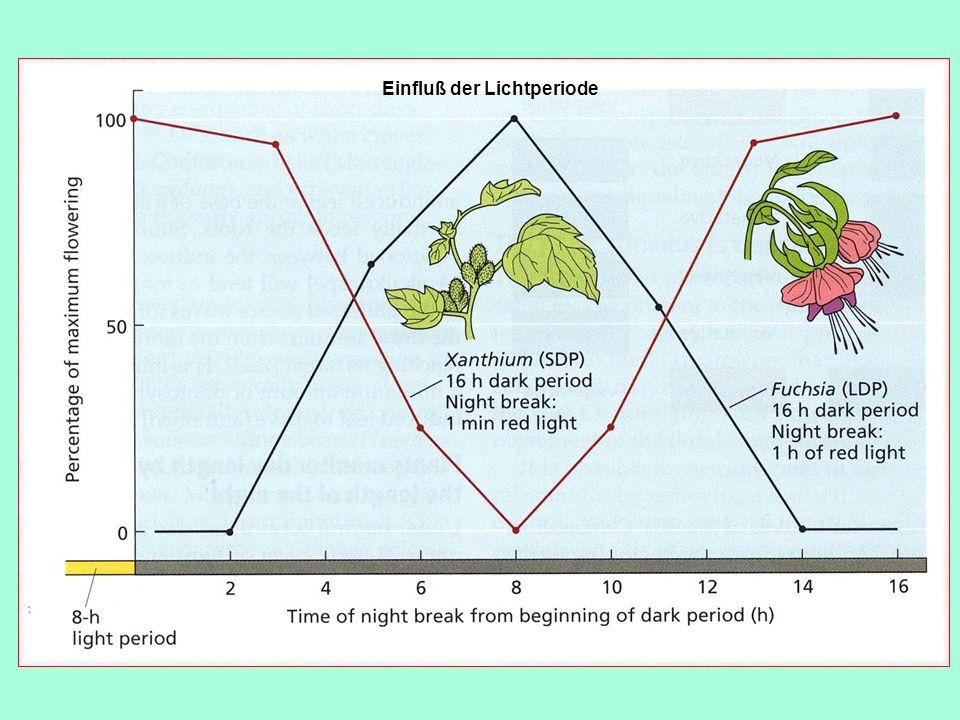 Einfluss der Lichtperiode SB23.6