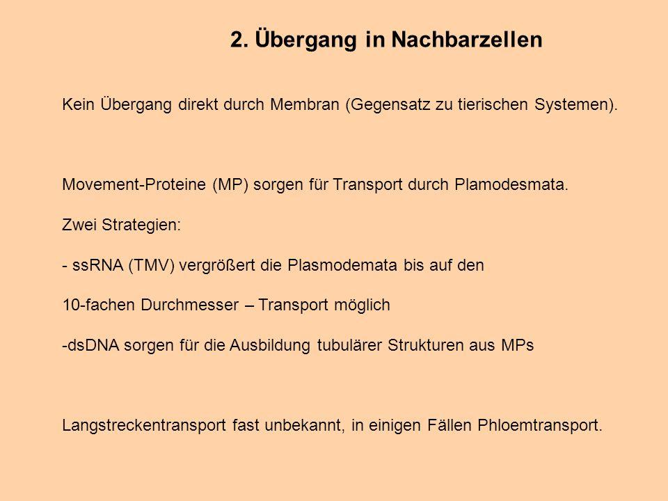2. Übergang in Nachbarzellen Kein Übergang direkt durch Membran (Gegensatz zu tierischen Systemen). Movement-Proteine (MP) sorgen für Transport durch